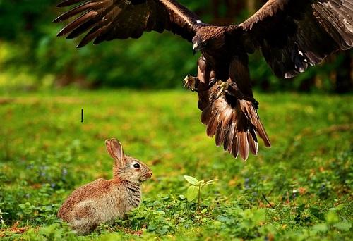 ウサギ 天敵